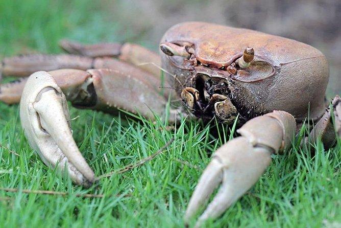 Swampie land crab.