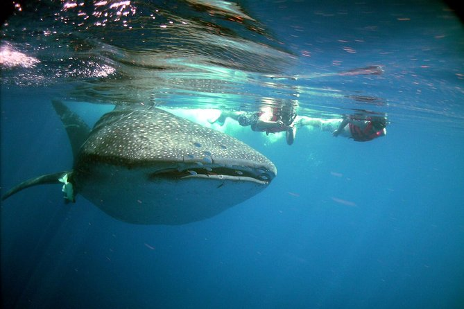 WHALE SHARKS SWIMMING ADVENTURE (Group and Private Tour)