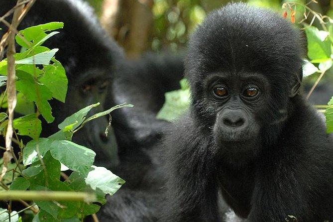 3 Days Gorilla Trekking Expedition Uganda