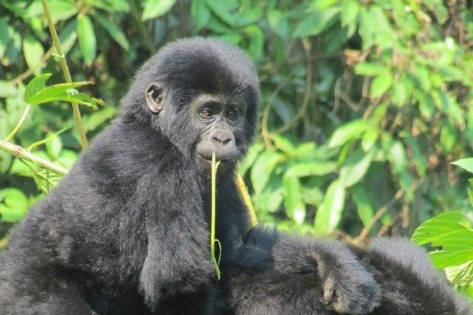 3 Day Kalinzu Forest Chimpanzee Trek and Gorilla Trekking photo 7