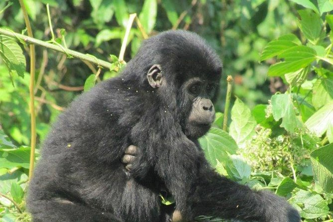 3 Day Kalinzu Forest Chimpanzee Trek and Gorilla Trekking photo 9