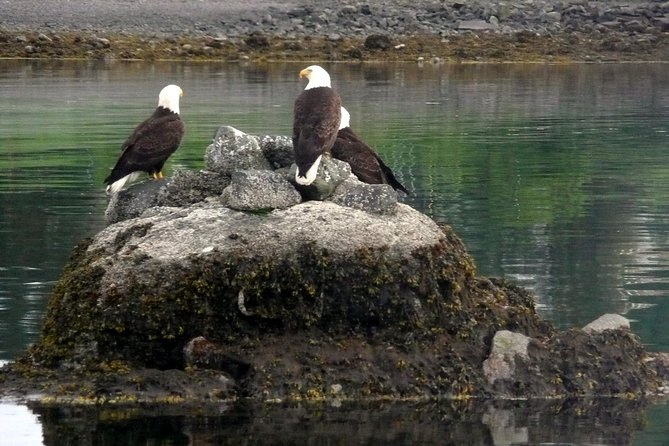 A gathering of Bald Eagles