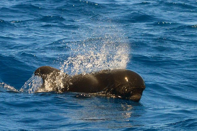 Whale Watching Eco-Adventure from Costa Adeje