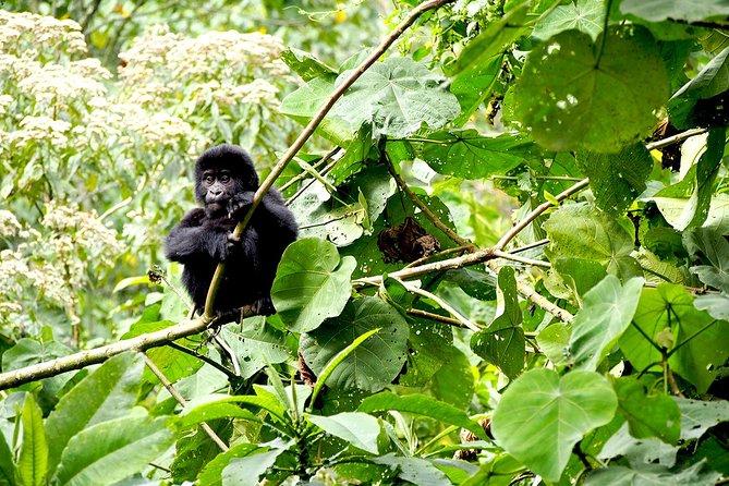 4 Day Gorilla Tracking Uganda