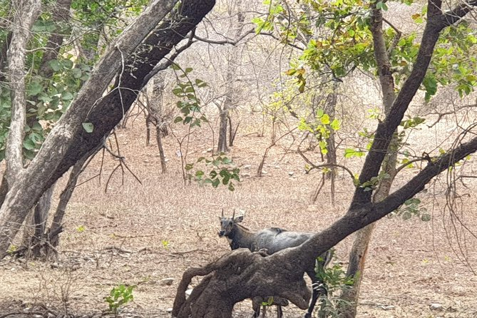 From Jaipur: 2 Day Ranthambore Tiger Safari with Transfers