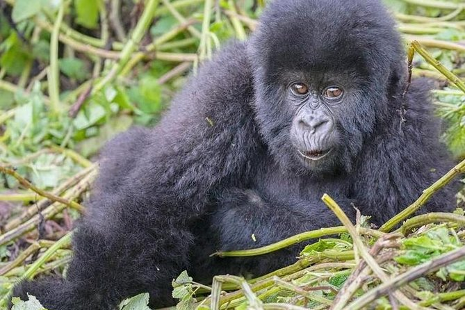 4 Days Luxury Mountain gorilla tour photo 2