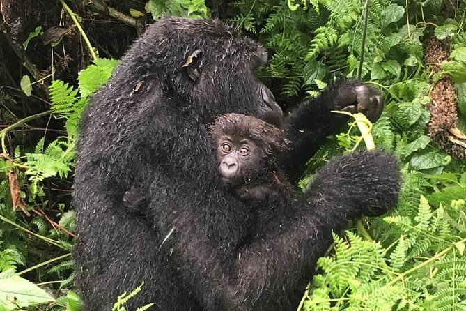 4 Days Luxury Mountain gorilla tour photo 12