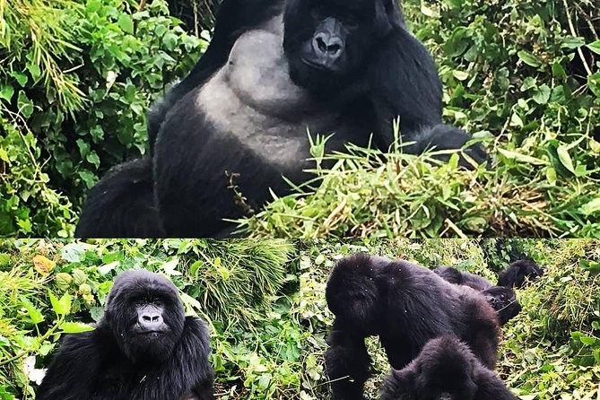 4 Days Luxury Mountain gorilla tour photo 6