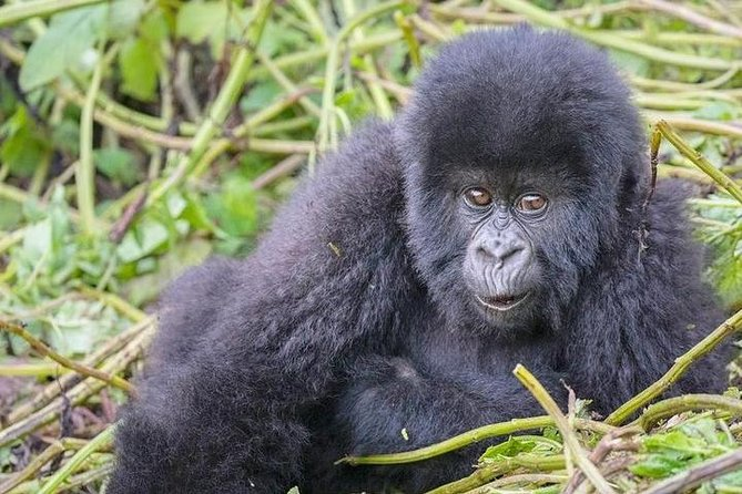 4 Days Mountain gorilla tour photo 4