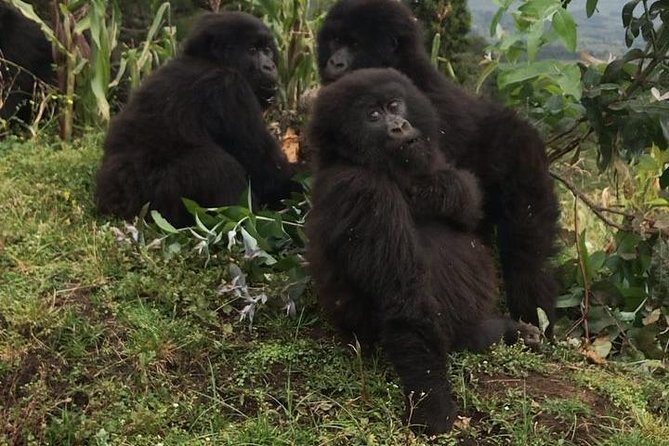 4 Days Mountain gorilla tour photo 7