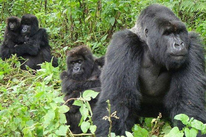 5 Days Wildlife and Gorillas Safari