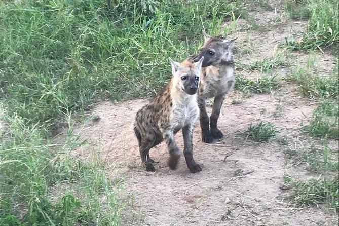 Hyena pups at the den