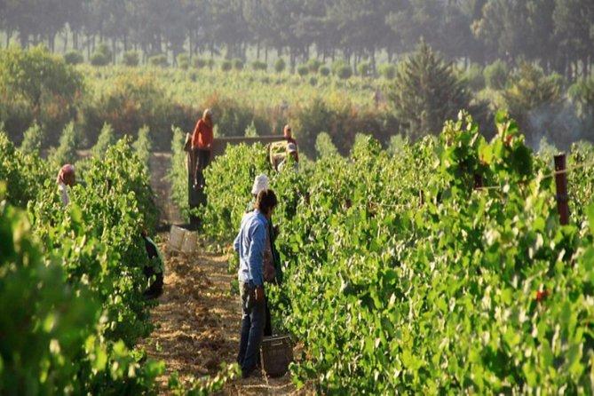 Ksara vineyard