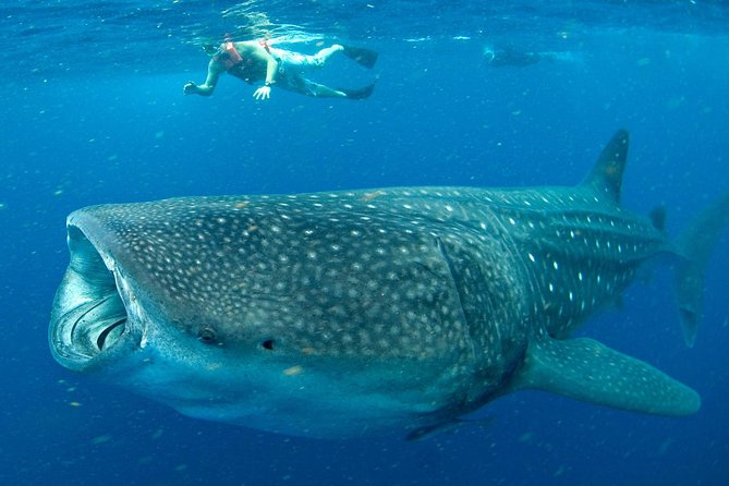 whale shark experience cancun