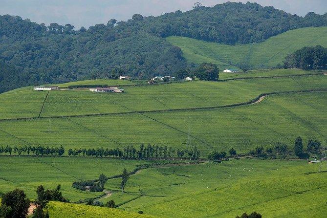 one of the Rwanda largest tea plantation