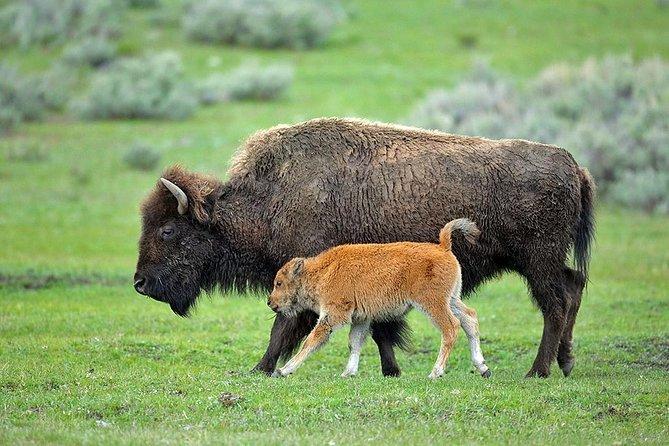 Yellowstone Custom Wildlife and Nature Tour