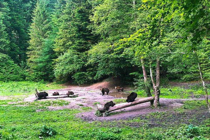 Bear Watching in The Wild from Brasov photo 4