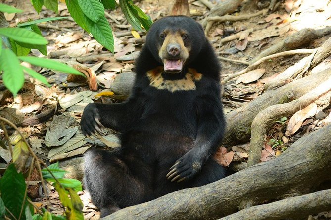 Bornean Sun Bear Conservation Centre & Sepilok Orang Utan Rehab Centre Tour