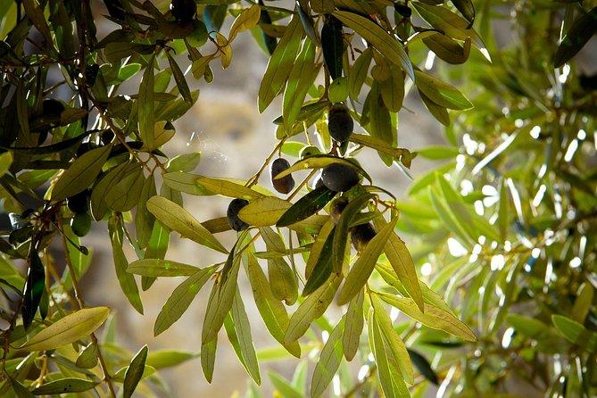 Tour de producción y plantación de aceite de oliva con degustación