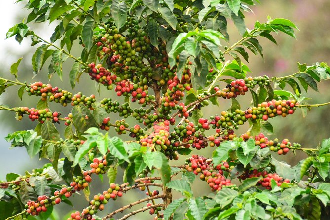 Coffee Tour in Kenya`s oldest coffee farm