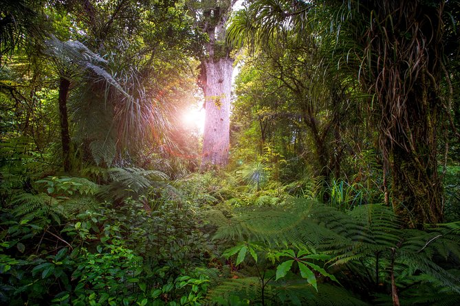 Daylight Encounter - Waipoua Forest Guided Tour 3 Hours