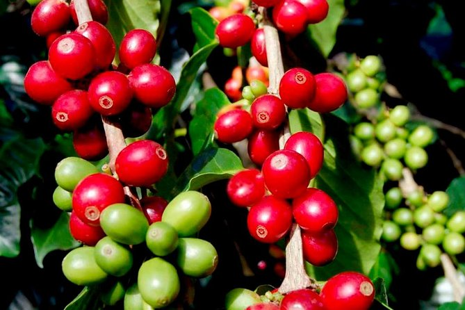 Coffee Tour Hacienda Coloma - Private Tour 4 to 8 Tourists