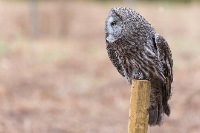 Great Grey Owl safari