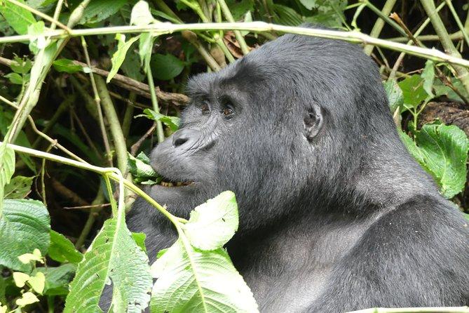 Gorilla trek through the impenetrable forest