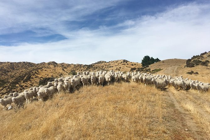 Merino Sheep Farm Tour | Hurunui, North Canterbury