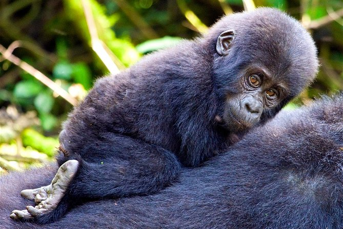 Classic Best Gorilla Experience & Northern Tanzania Expedition