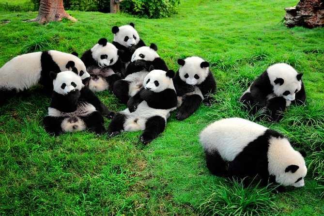 Chengdu Giant Panda Volunteer Day Tour