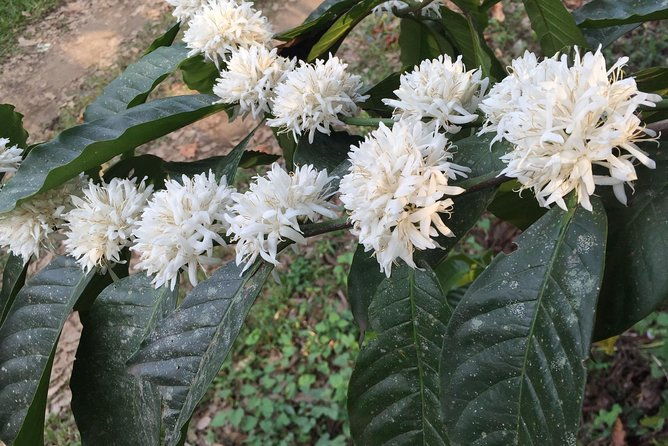 See coffee in bloom if you are lucky