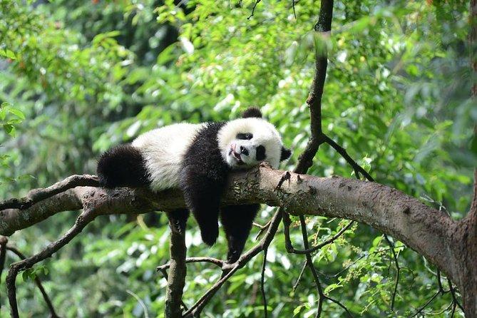 Giant Panda-Leshan Buddha-Emei Mountain 2 Days Tour