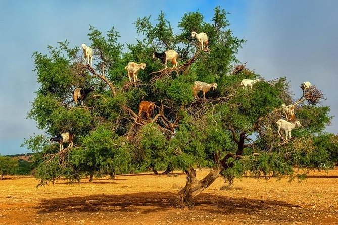 Essaouira Private Day Trip From Marrakech including the view of goats on trees