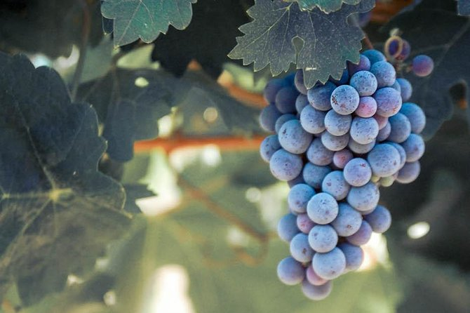 Red wine grapes are almost ready for harvest. Guests enjoy tasting among the vineyards in Temecula.