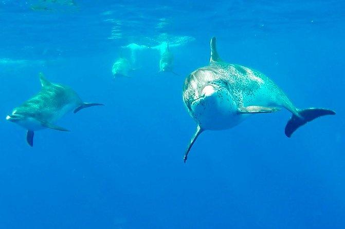 ponta-delgada-demi-journee-de-nage-avec-les-dauphins