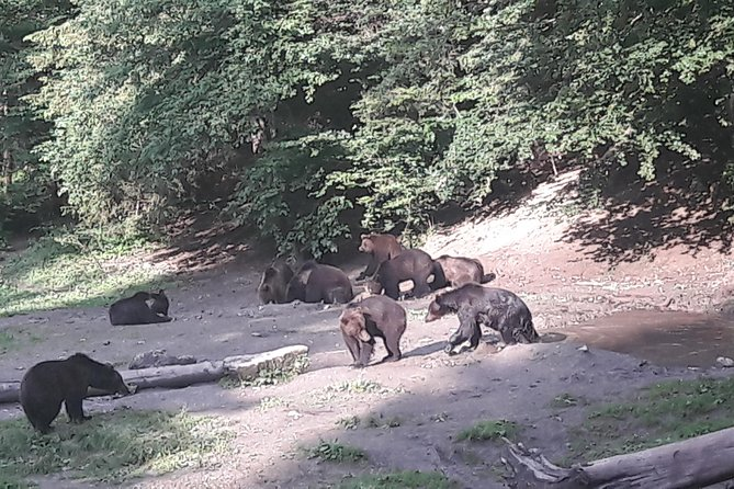 Bear Watching in The Wild from Brasov photo 6