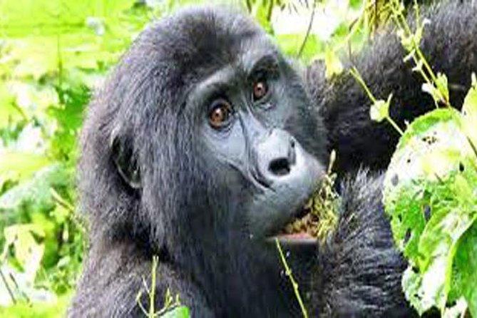 4 Days Gorilla, chimpanzee & Wildlife Safari