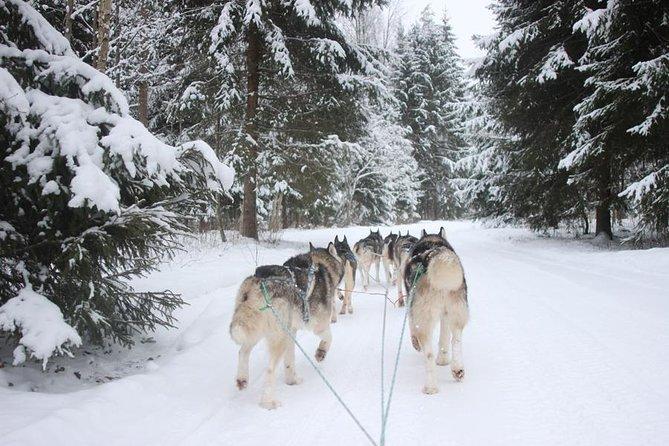 Husky Dog Sledding Tour From Riga