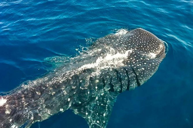 Swimming Expedition Whale Shark Departures from Cancun