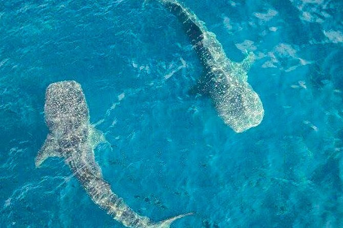 Experience in the Caribbean Sea Swimming with whale Sharks from Riviera Maya