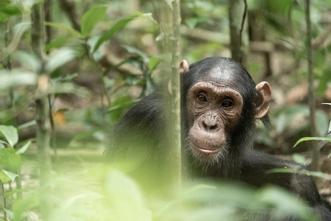 Chimpanzee Trekking Tour in Kibale National Park, Uganda