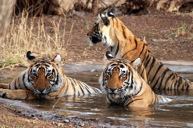 Tiger Safari From Delhi including Sunrise View of Taj Mahal