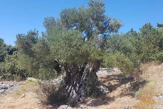 Oldest Olive Tree With Tasting And Lunch