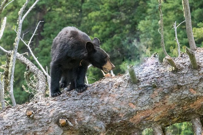 Private Yellowstone Wildlife Safari Tour. Gourmet Picnic Lunch included!