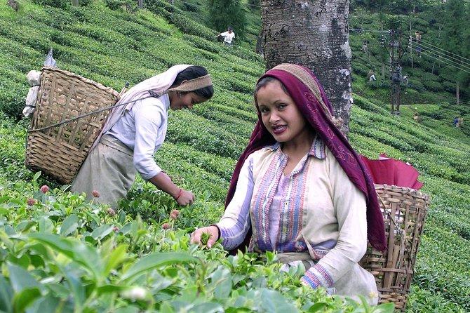 Darjeeling Exquisite Estate Tour
