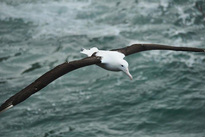Dunedin Shore Excursion: Royal Albatross Centre & Yellow-Eyed Penguins