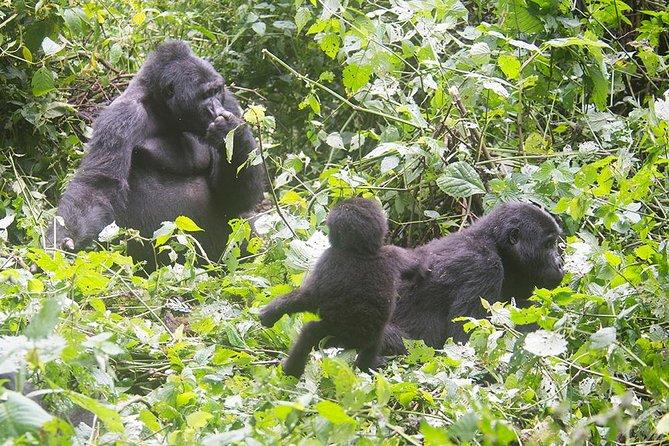 5 Days Gorilla Tracking Photographic Tour - Bwindi