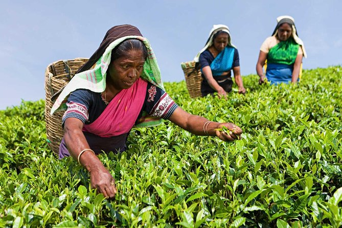Tea Plucking and Tea Factory Visit from Nuwara Eliya.