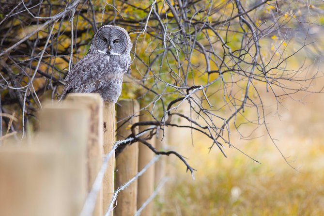 An owl sits on a fence post in Grand Teton National Park